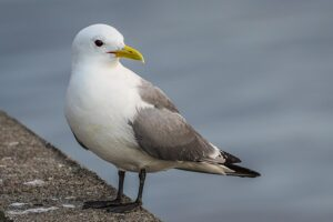 Kittiwakes at Seaford Head in a changing climate