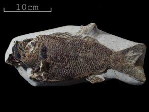Ray finned fish sp., Ctenothrissa radians. This is a rare complete example of this species of beautiful scaly fish which was found by Charles Potter in the late 19th Century. The specimen is from the Upper Chalk in East Sussex. Photo by Bob Foreman.
