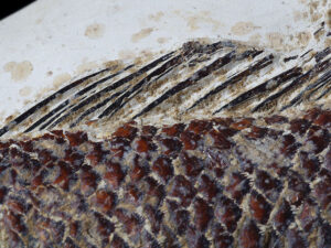 Close up of fossil fish, Ctenothrissa radians sp., from the Upper Chalk, East Sussex. Photo by Bob Foreman.