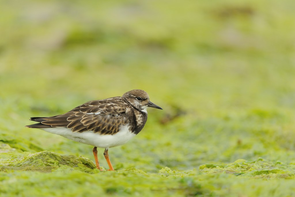 No. 6 Turnstone