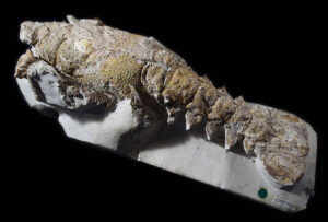 Lobster, Palaeastacus dixoni from the Lower Chalk, Clayton, East Sussex. This rare fossil lobster has been preserved in wonderful detail. It is very significant and a first drawing appeared of it in scientific journals in 1850. Photo by Bob Foreman.