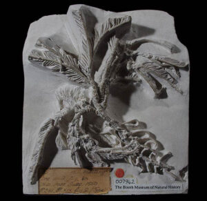 This fossil sea-lily, Isocrinus granosus is from the Middle Chalk in Lewes. It is one of the best specimens known of a Chalk crinoid (or sea-lily). Imagine an upside down starfish perched on a tall stalk for an understanding of these strange creatures. These animals probably lived in large groups, almost resembling beds of seaweed. Living examples are very similar. Specimen number 007942. Photo by Bob Foreman.