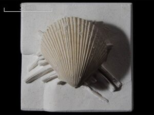 Spondylus spinosus was a common bivalve mollusc that lived in the Chalk Sea. It had spines which helped deter predators and supported it on soft sediments. Specimen number 011664. Photo by Bob Foreman