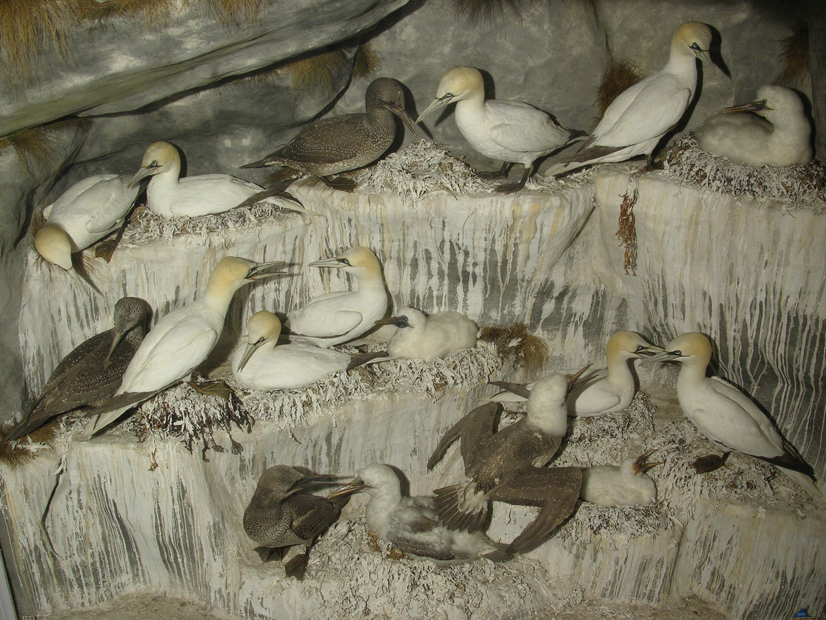Mr. Booth's Gannets